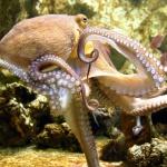 Science et vie : L'incroyable intelligence de la pieuvre