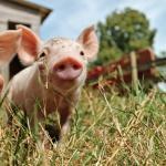 Ethique animale en Suisse : La caméra cachée, l'arme de choc des défenseurs de la cause animale