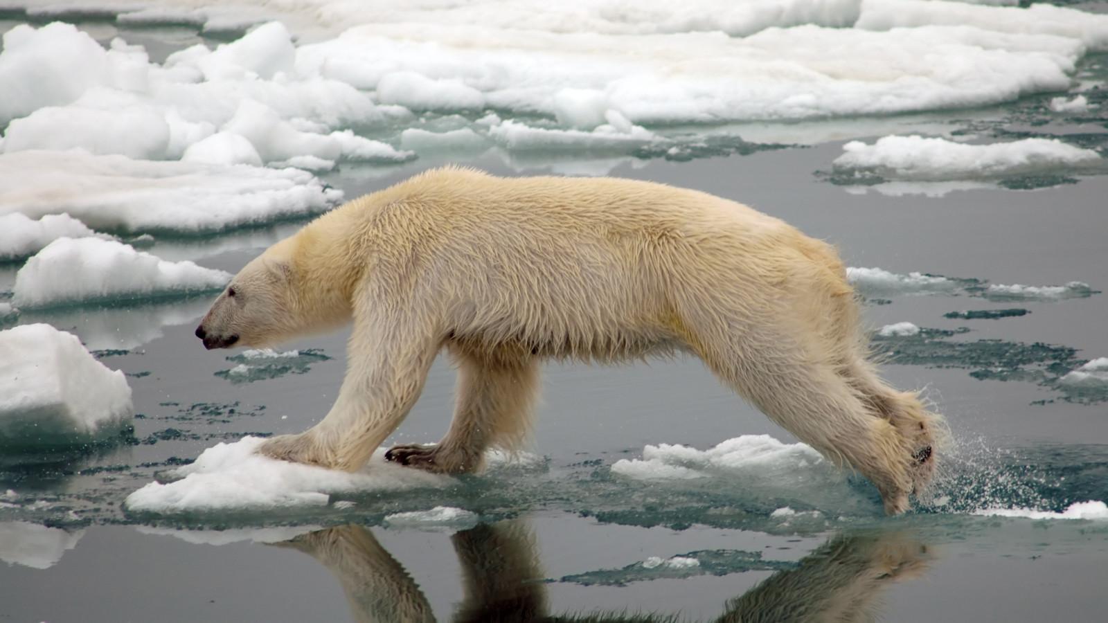 environnement la vid o dramatique d un ours polaire mourant de faim symbole du changement. Black Bedroom Furniture Sets. Home Design Ideas