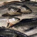 Alimentation & Santé : Attention au saumon d'élevage de Norvège